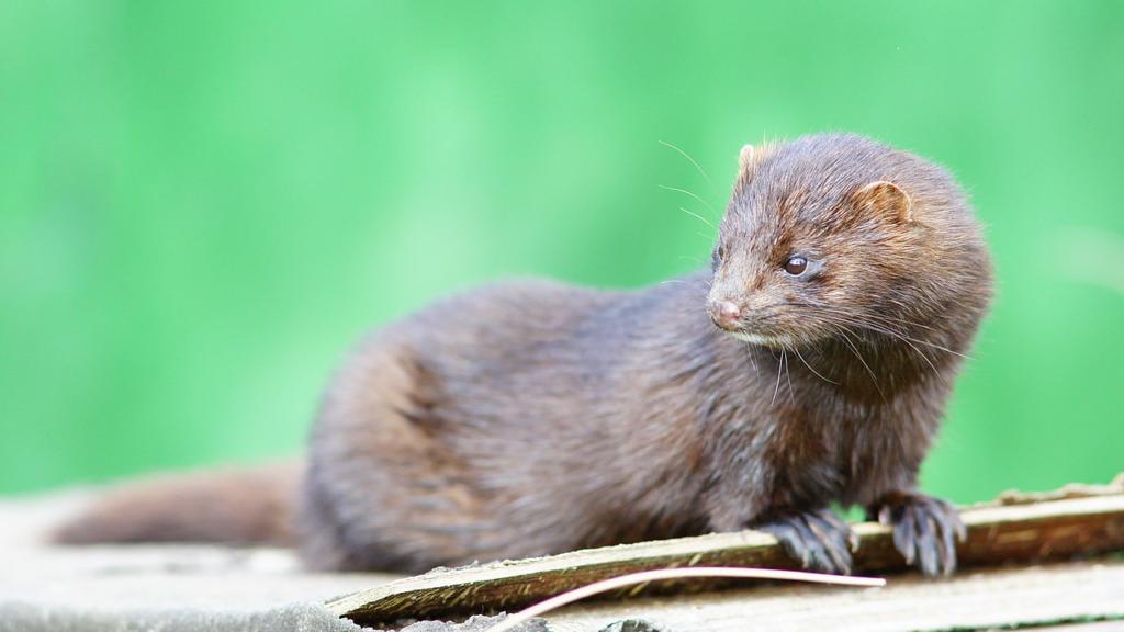 ¿Qué pasa cuando el coronavirus infecta a los animales salvajes?