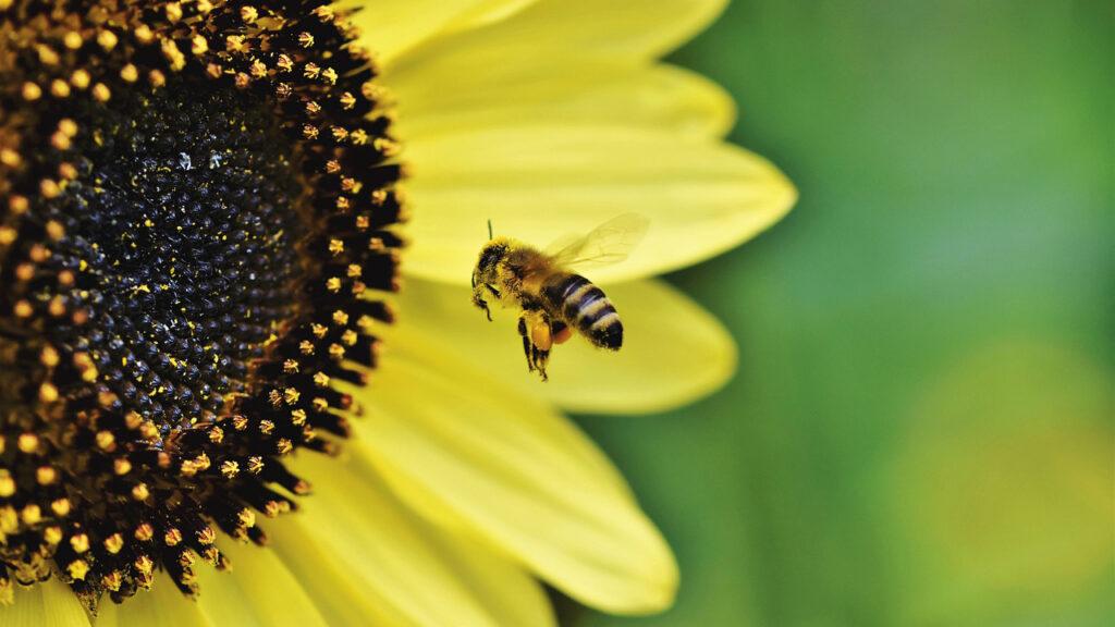 Un cuarto de las especies conocidas de abejas no se han visto desde 1990