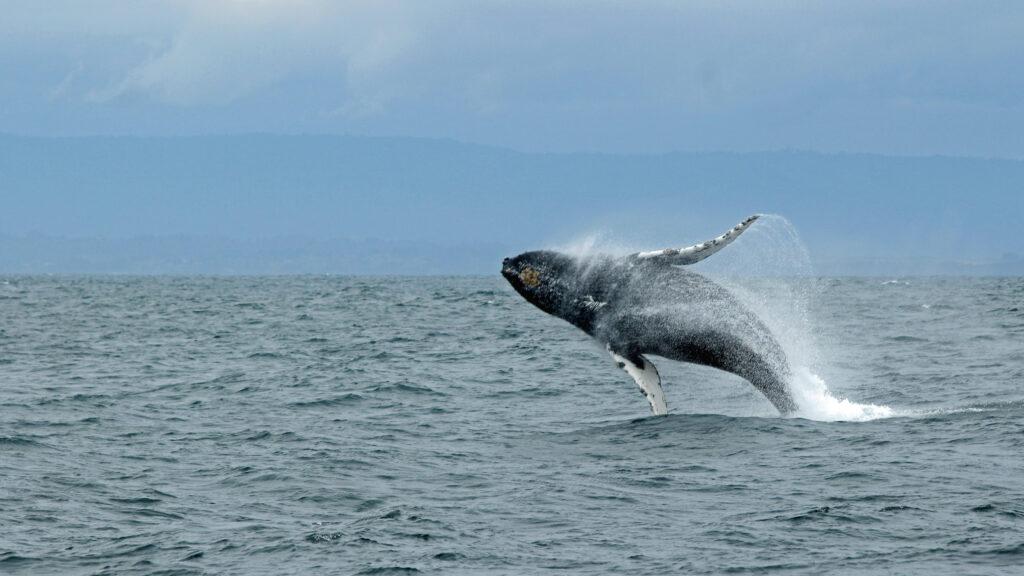 Aumenta la población de ballenas boreales, a pesar del calentamiento en el Ártico