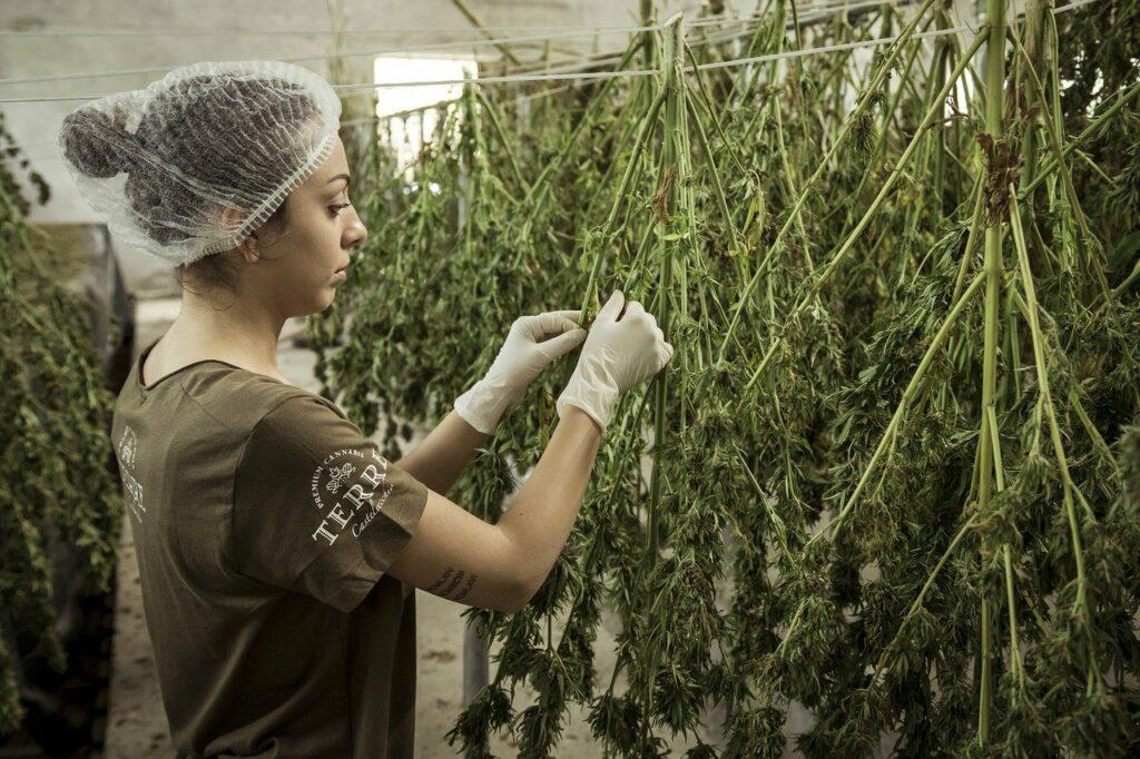 En riesgo, propuesta de holandeses de granjas de cannabis para surtir a 'coffee shops'