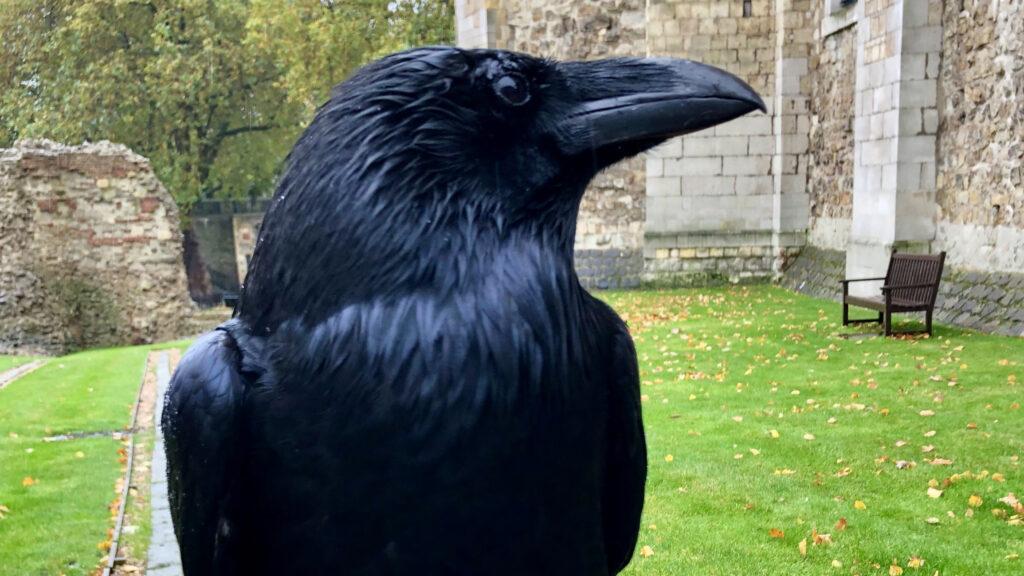 ¿Mal augurio? Desaparece un cuervo de la Torre de Londres, se teme que esté muerto
