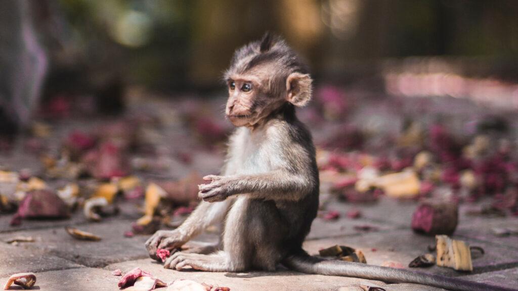 Los monos ladrones de Bali pueden identificar objetos de gran valor