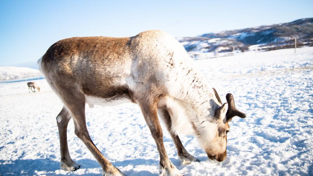 La lucha de los pastores Sami contra un parque eólico de Noruega