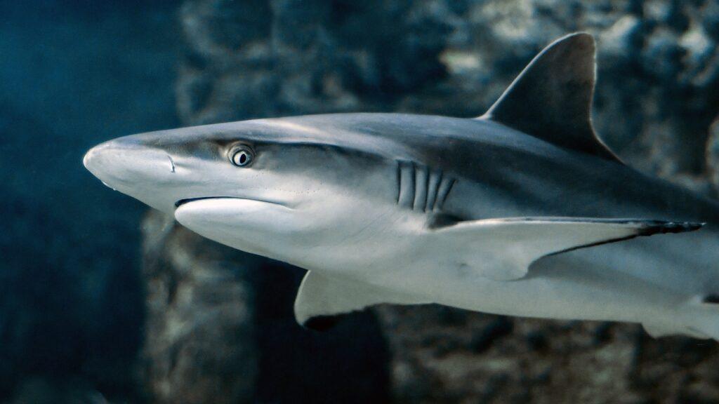 La población de tiburones y mantarrayas cayó en más de 70% en 50 años