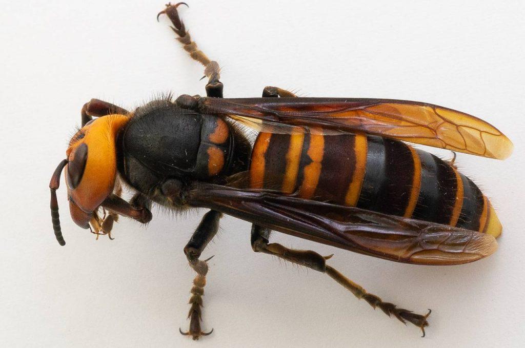 Los apicultores se preparan para el siguiente round contra los 'avispones asesinos' de Canadá