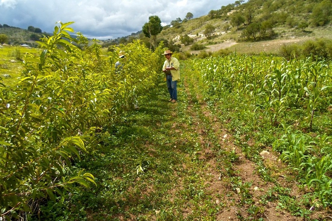 jornalero, campo, agrigultura, maiz
