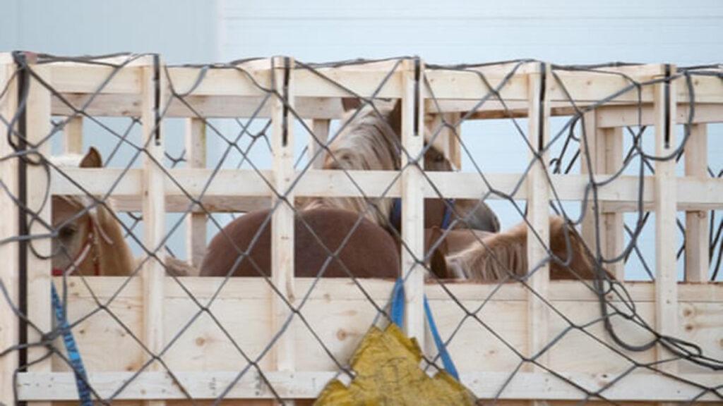 Crece la indignación por la exportación de caballos vivos a Japón para consumo humano