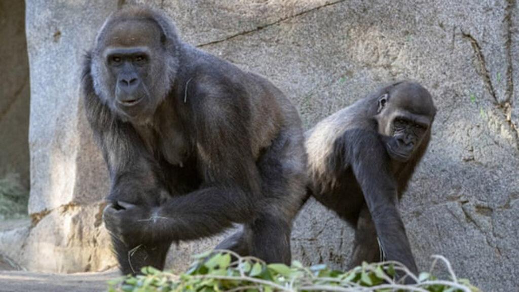 Vacunan contra Covid a simios tras brote en el zoológico de San Diego