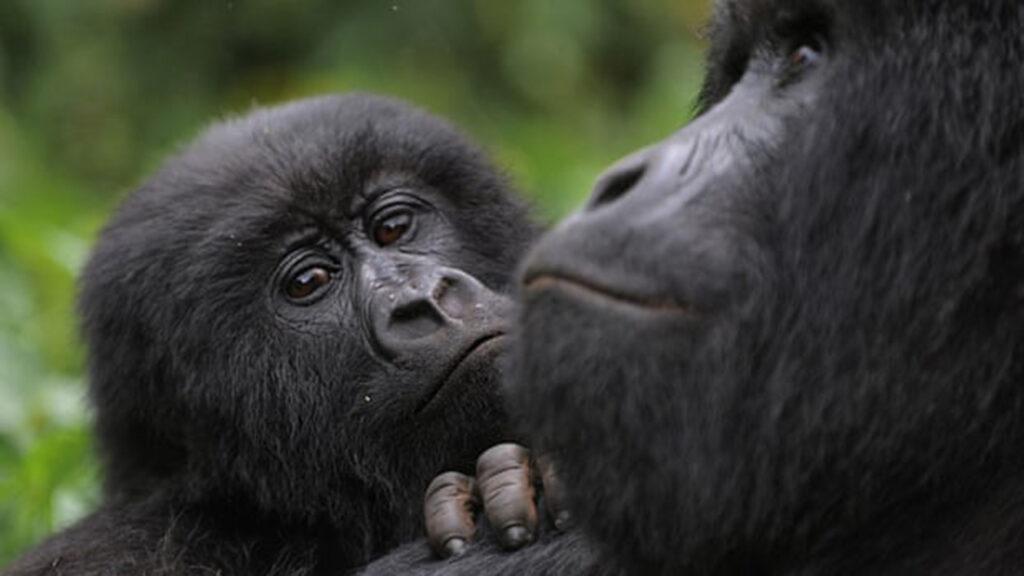 Inversionistas en Reddit utilizan ganancias de GameStop para ayudar a proteger a los gorilas