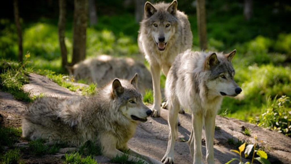 Cazadores de Wisconsin matan a 216 lobos en 60 horas y provocan un escándalo