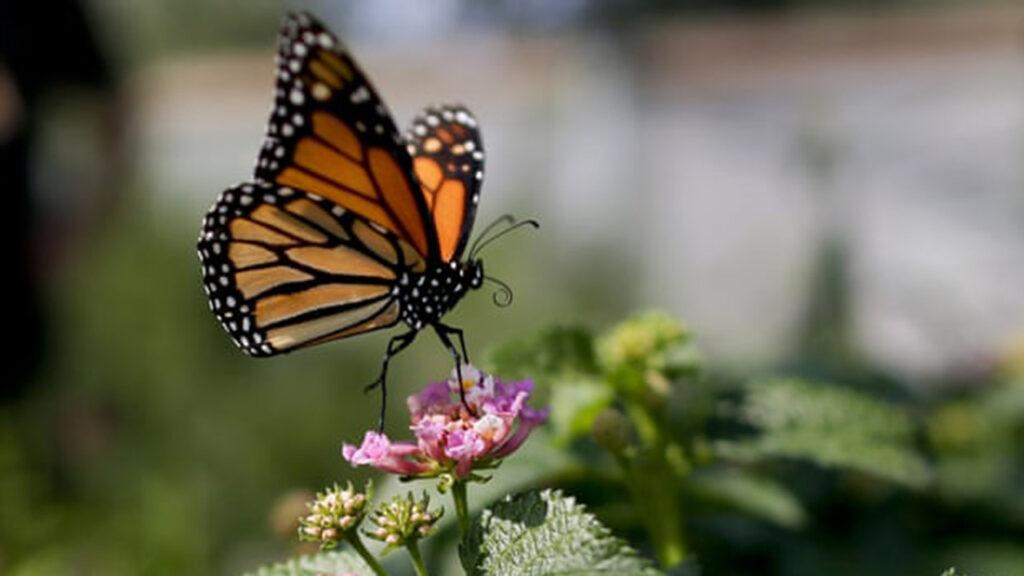 El número de mariposas en el oeste de EU se desplomó por la crisis climática