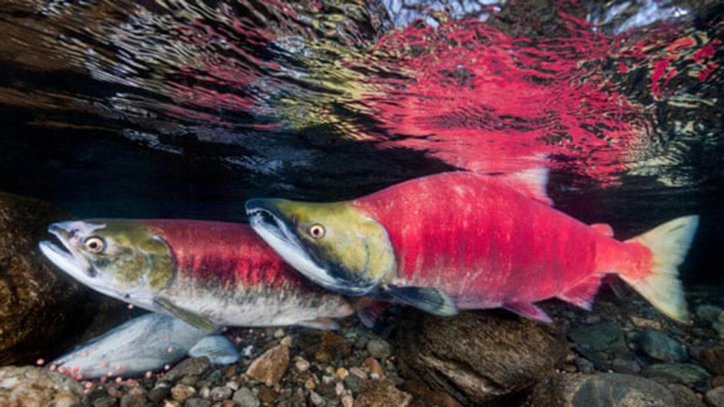 Canadá combatirá el fraude de mariscos, pero excluye a los restaurantes