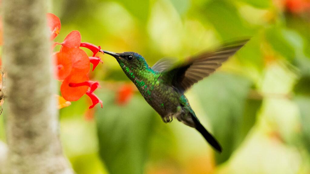 Canadá: unos colibríes detuvieron las obras de una controversial tubería de petróleo