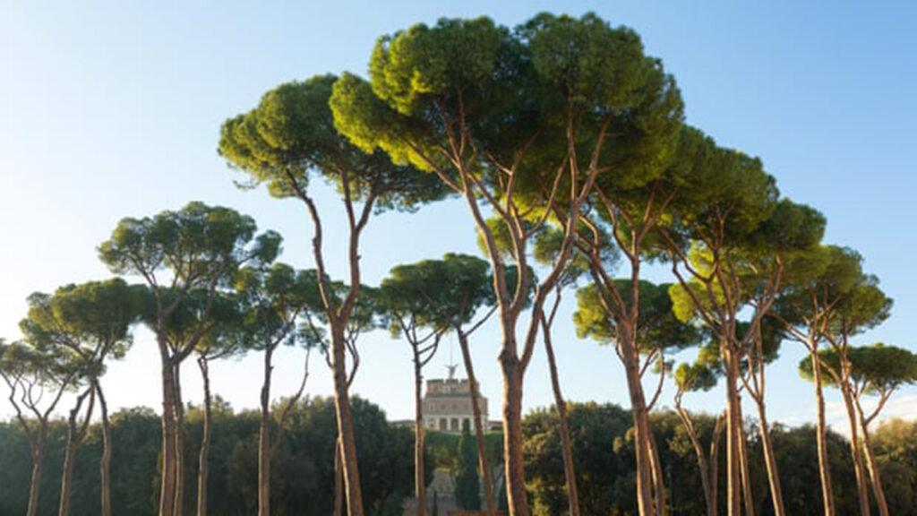 500,000 euros para salvar a los pinos romanos de un parásito mortal