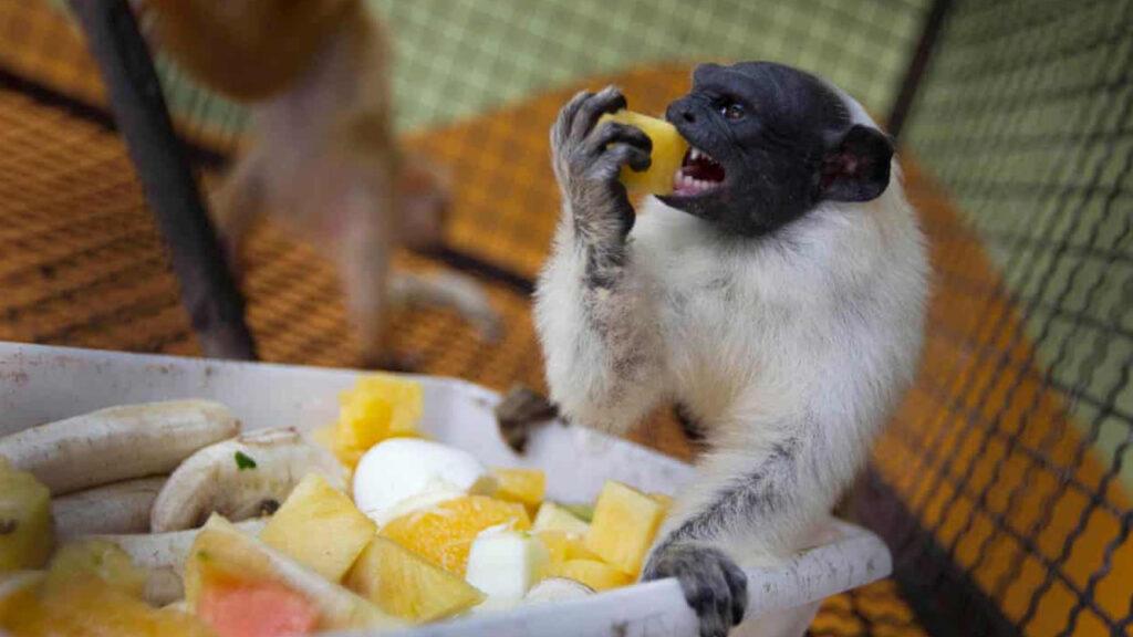 Los monos adoptan el 'acento' de otras especies cuando comparten territorio: estudio