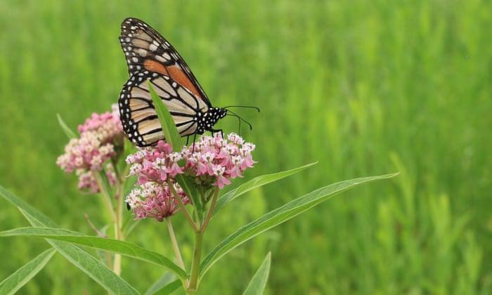Las mariposas monarca de California están casi extintas; el estado tiene un plan para salvarlas