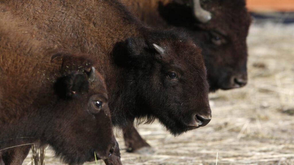 Donde viven los búfalos: el puente más largo de vida salvaje podría cruzar el Mississippi