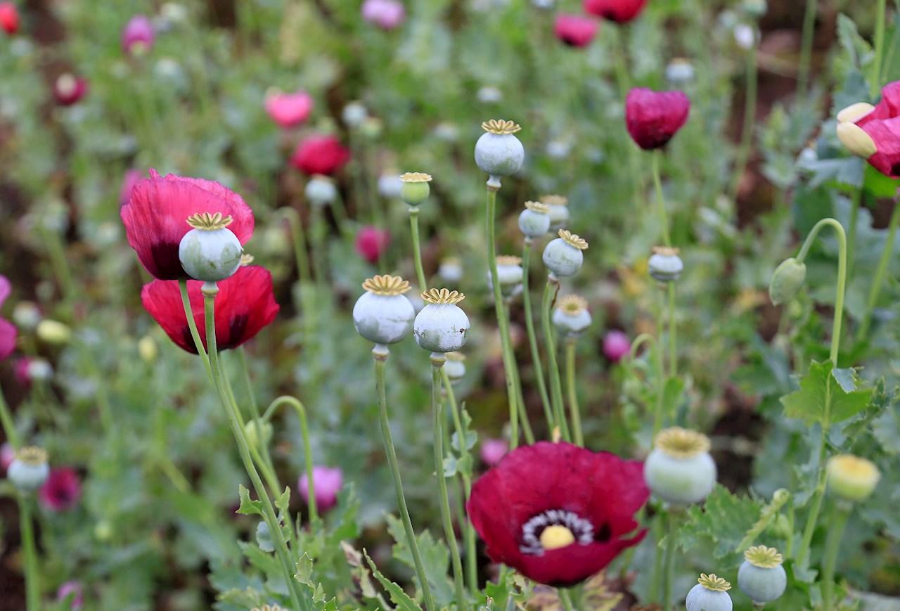 Foto de flores de amapola