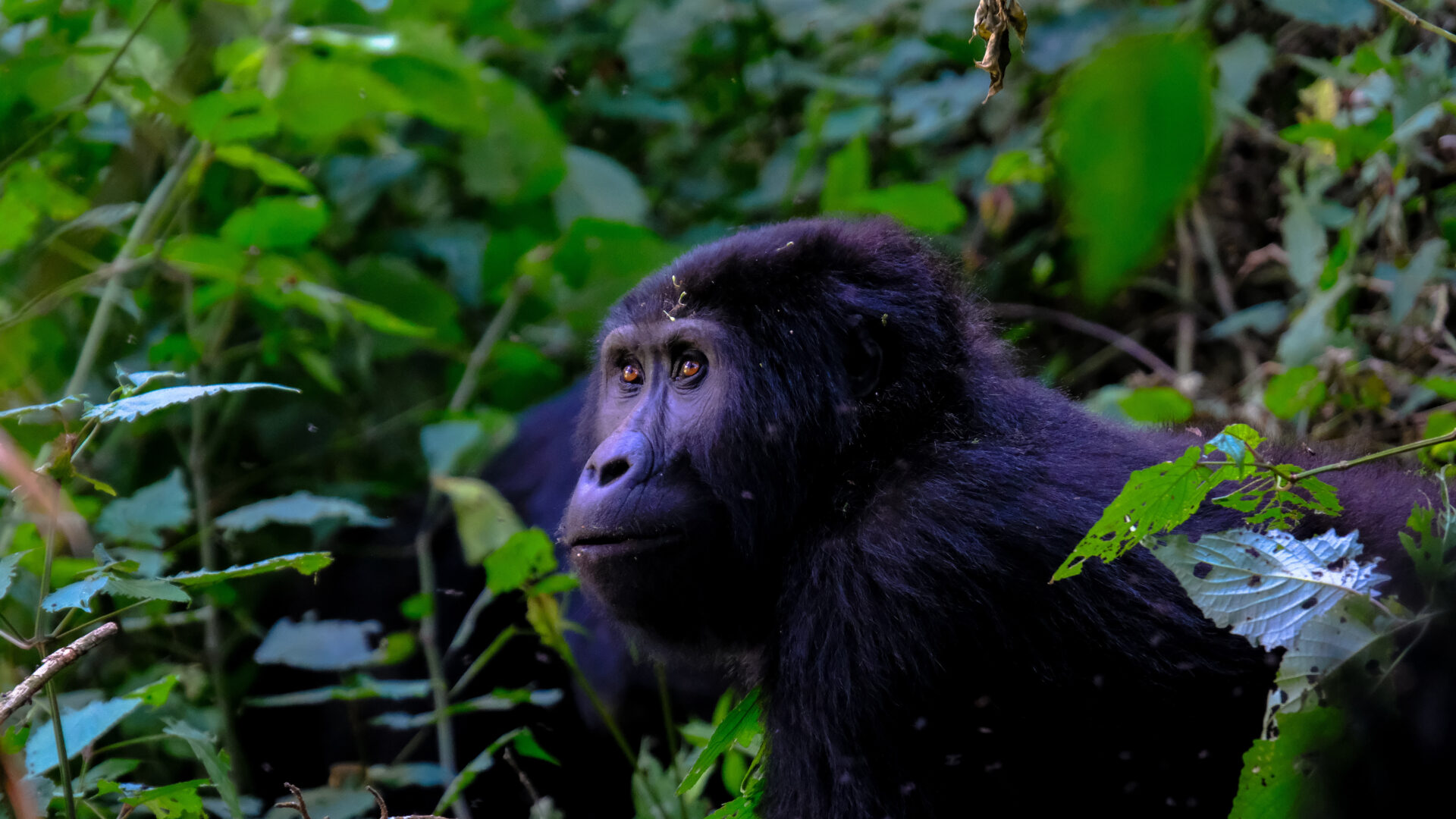 gorila bebé