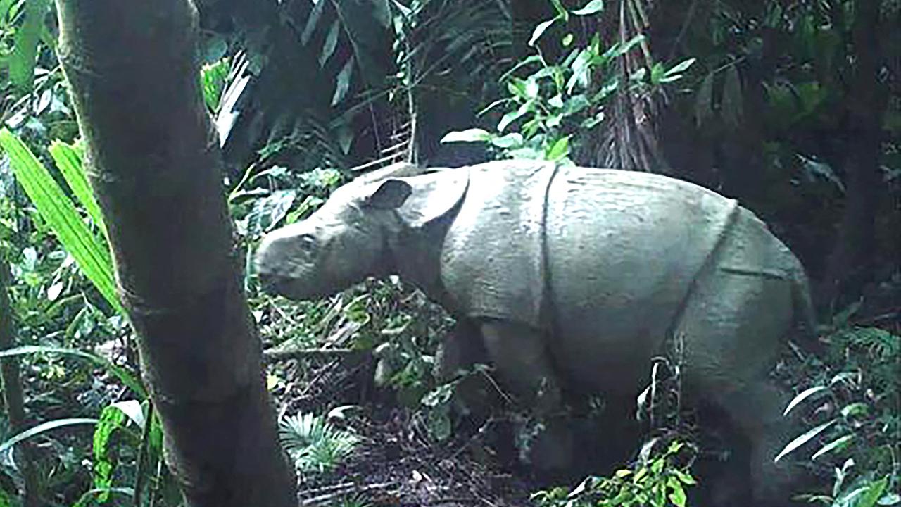 Foto de la cría de rinoceronte de Java
