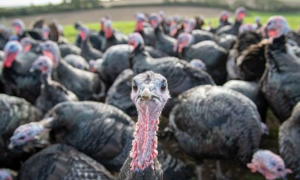 En Reino Unido no habrá suficientes pavos para Navidad debido al Brexit, advierten productores avícolas