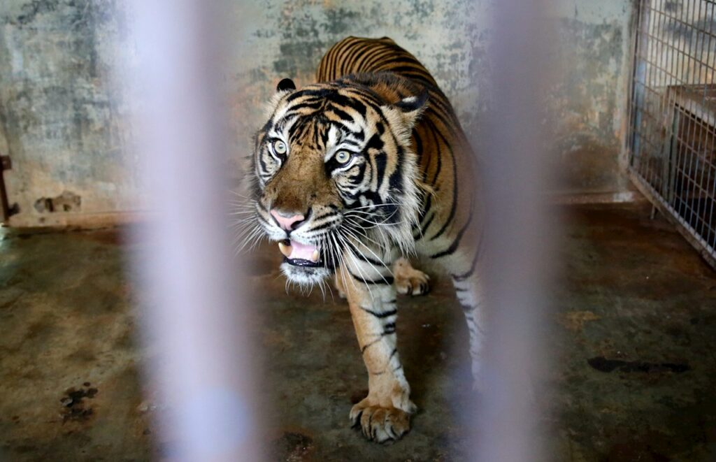 Dos tigres de Sumatra, especie en peligro de extinción, se contagian de Covid-19