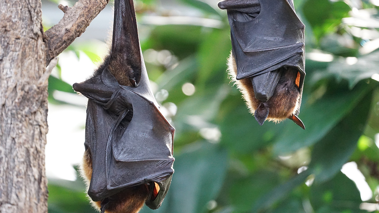 Hallan murciélagos con un virus similar al que produce el covid