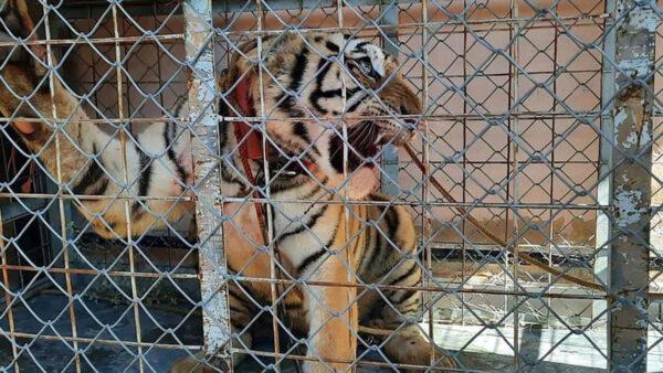 Fiscalía de Sonora halla un tigre de Bengala en escondite de grupo criminal