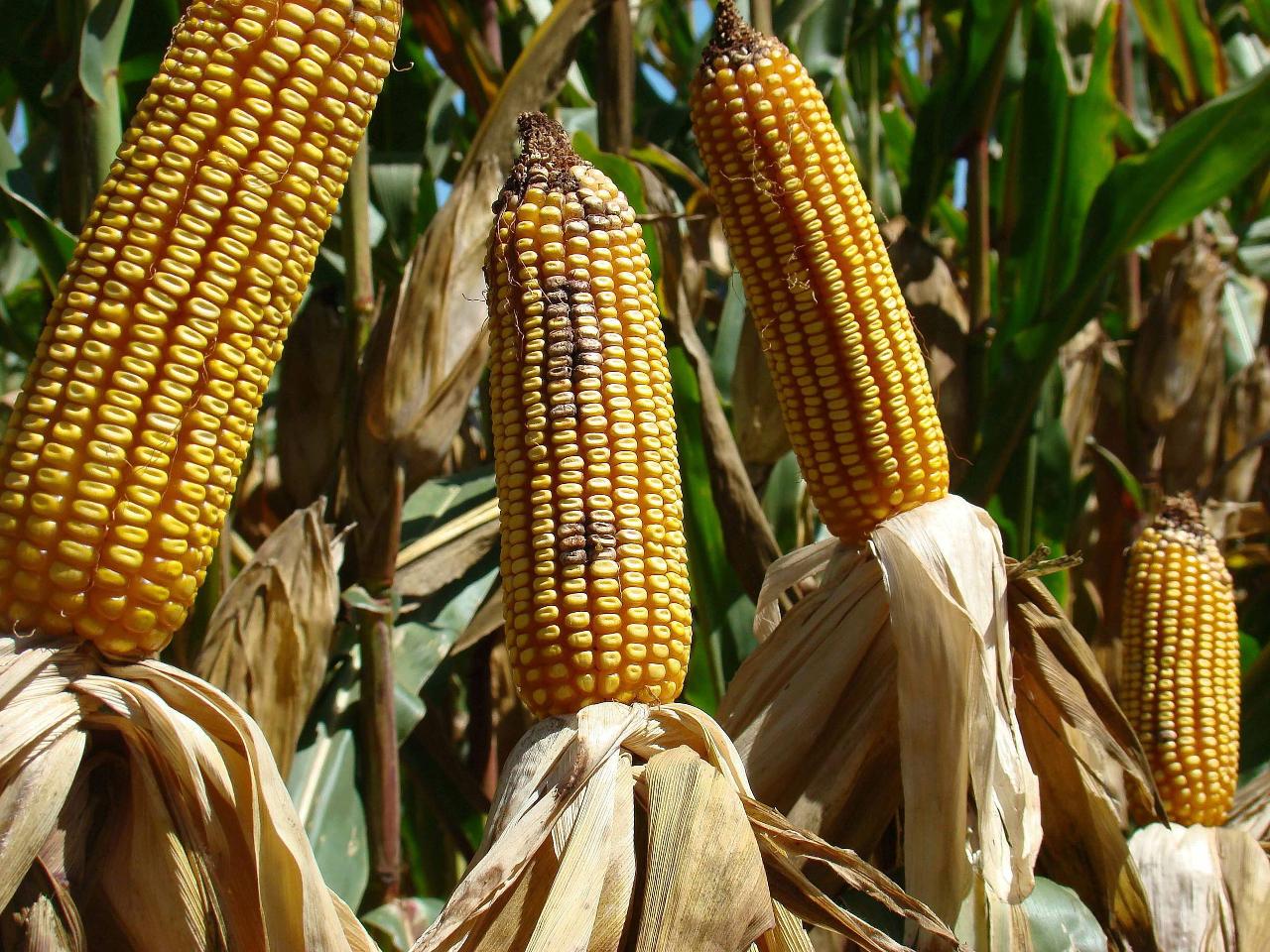 La SCJN niega amparos a trasnacionales para sembrar maíz transgénico