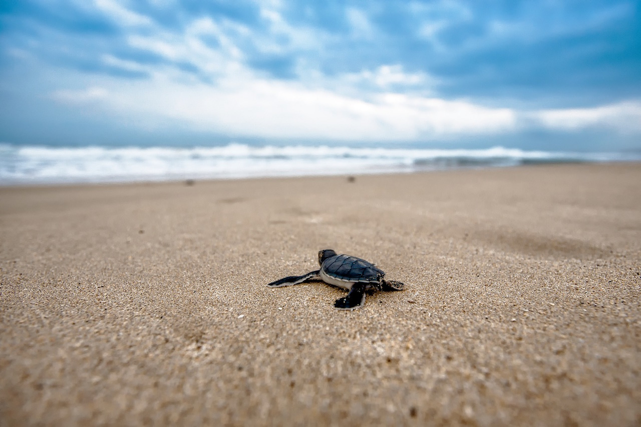 Actividad humana pudo causar muerte de 300 tortugas en Oaxaca, dice especialista